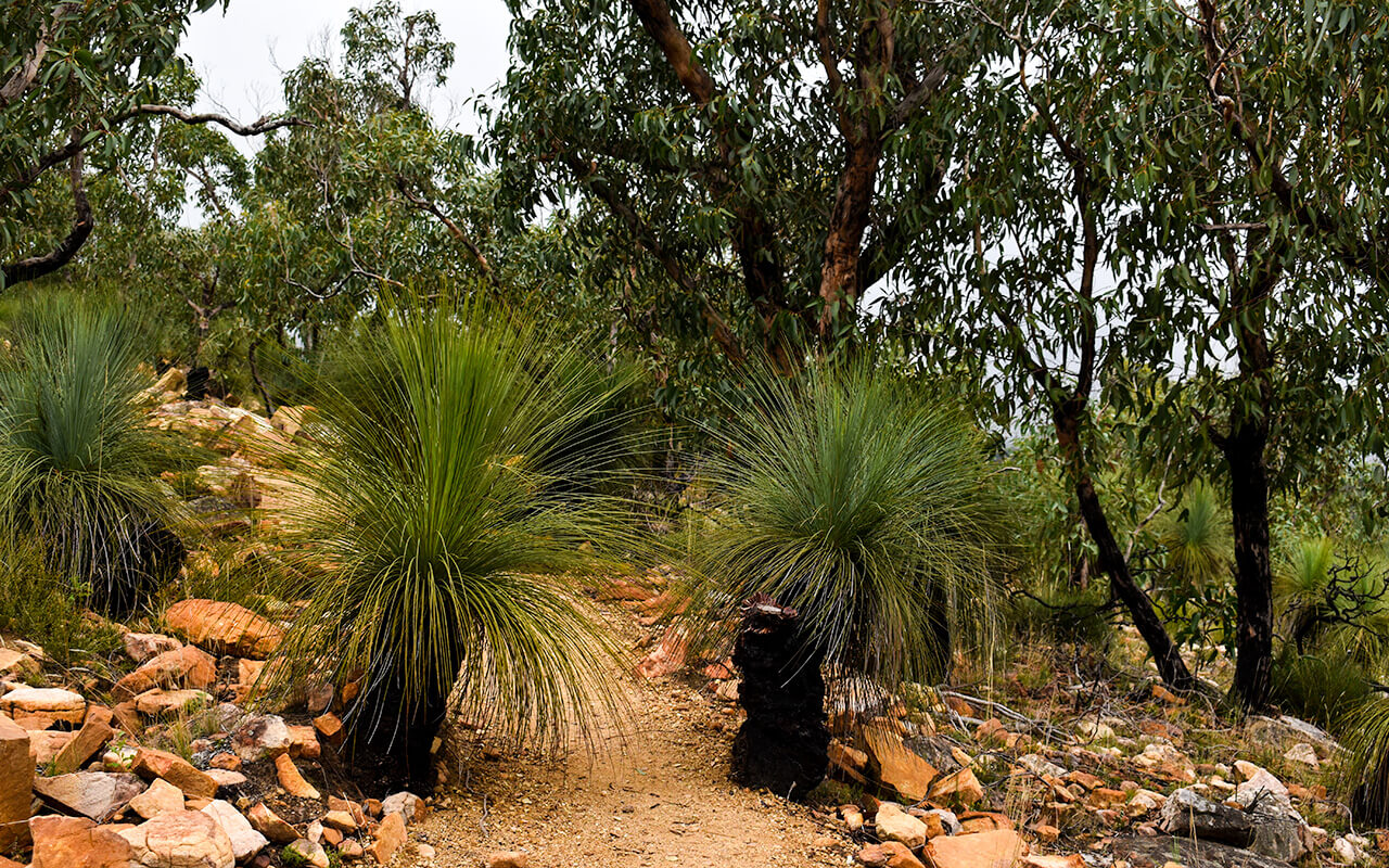 There are plenty of grass trees to see on your Grampians National Park tour
