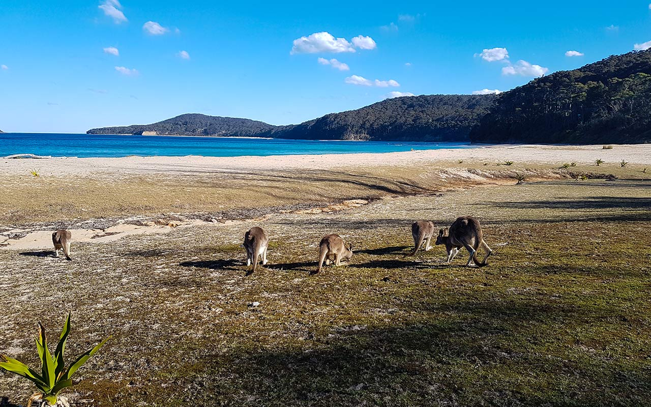 Pebbly Beach near Batemans Bay NSW is where kangaroos hang out by the ocean