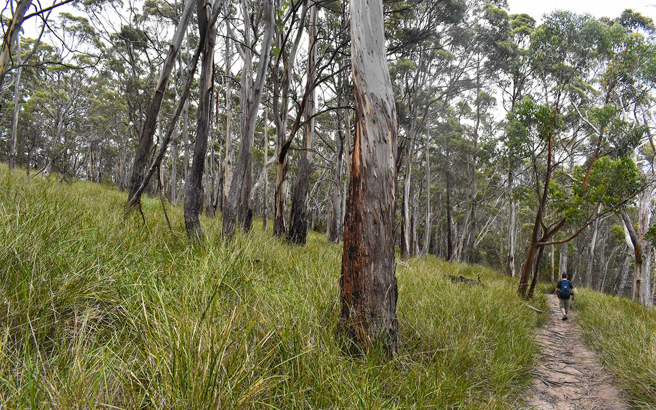 The eucalyptus forest is one of the things to see on Bruny Island
