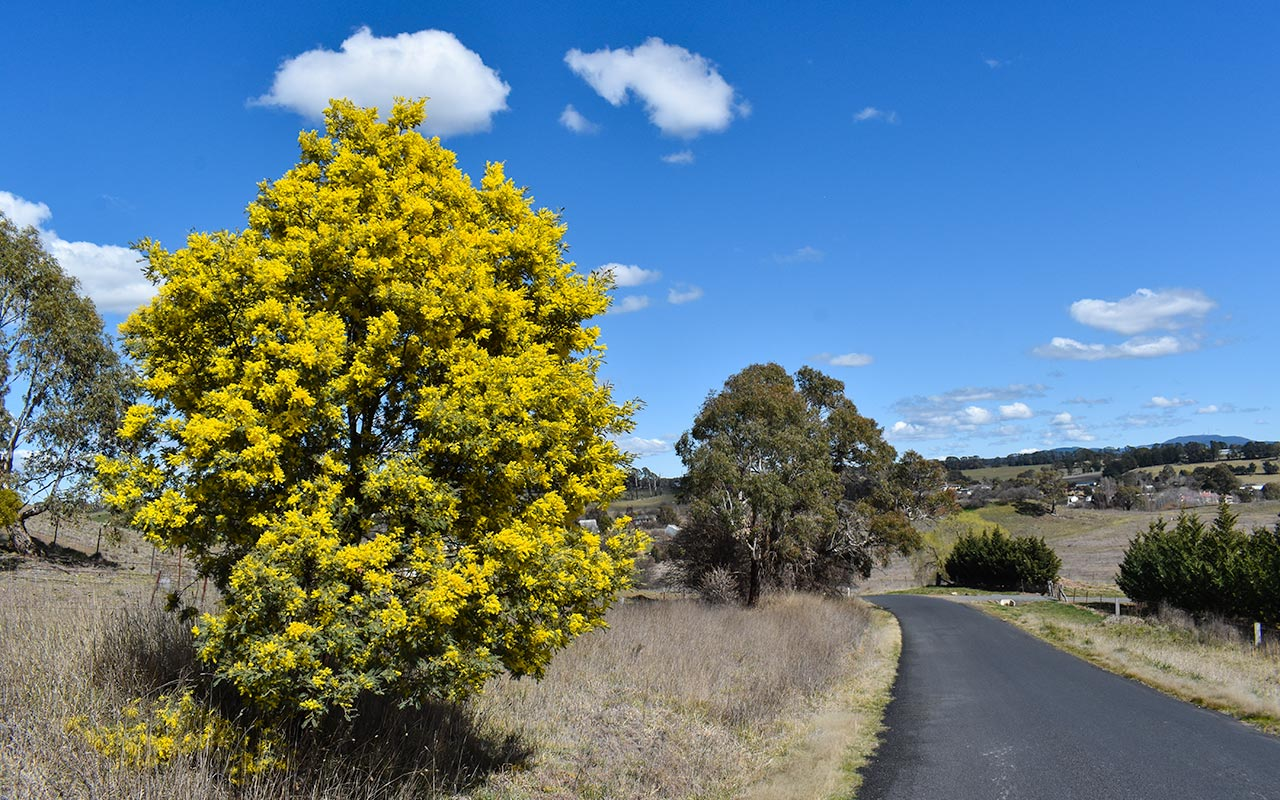 Wattle trees were in bloom on our visit to Orange