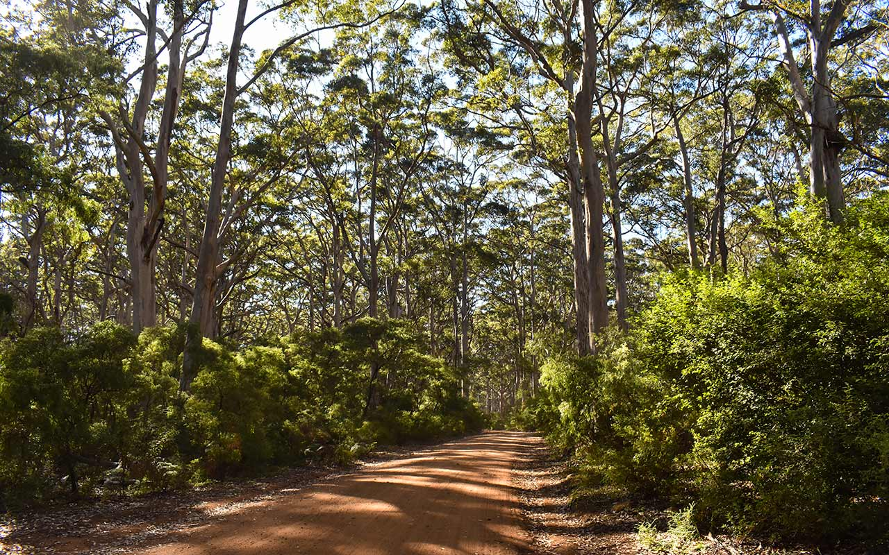 The Boranup Karri Forest has some really tall trees
